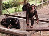 Chimps At Limbe Zoo (photo: Njei M.T)