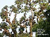Bats on a Mango Tree Douala (photo:Njei M.T)