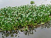 Water Hyacinth (photo: Njei M.T)